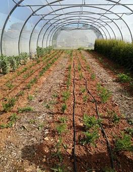 Ferme semenciere bio - Carotte Solvita